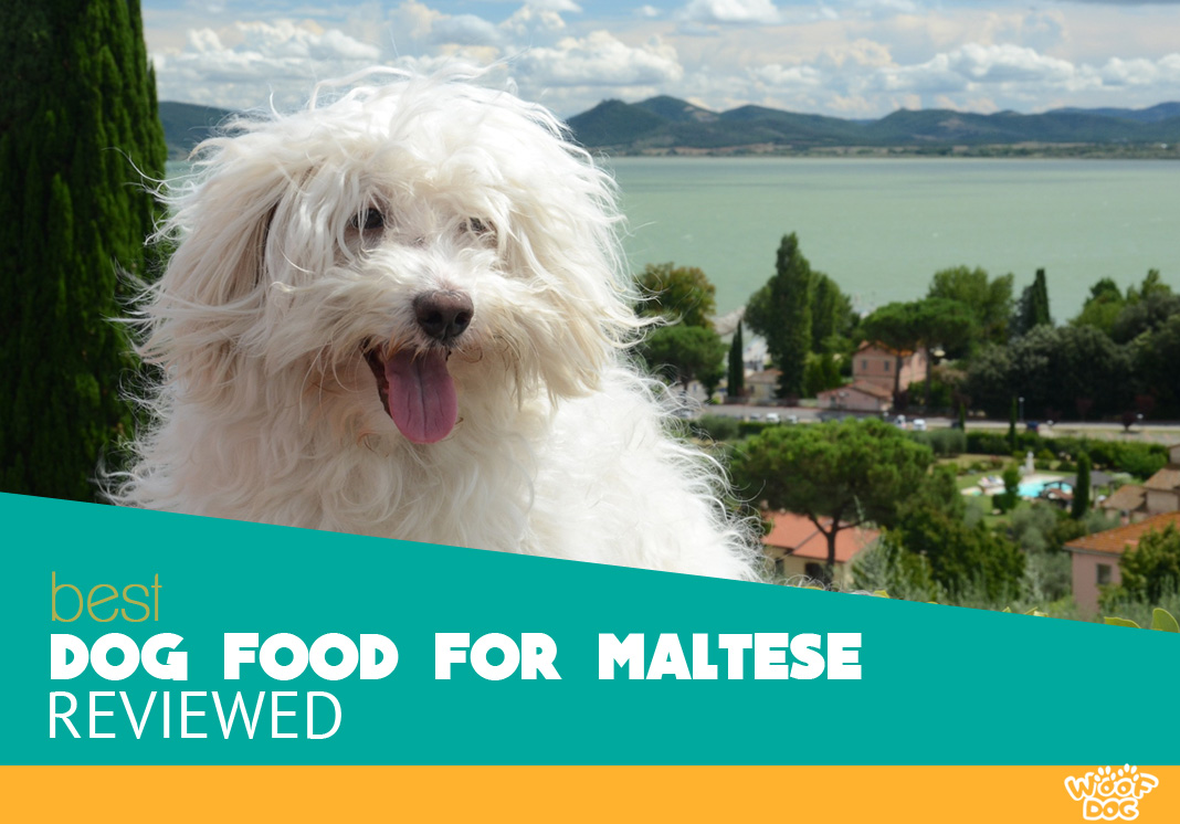 Featured image of white fluffy maltese dog