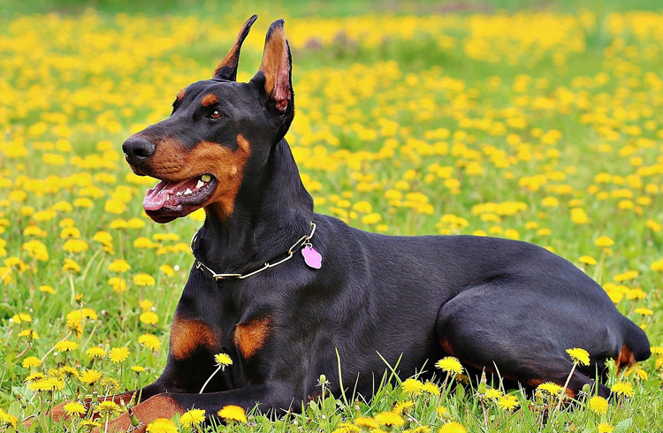 Image of black canine with nice necklasse