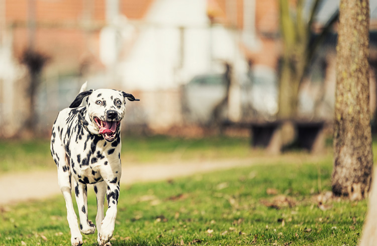 Image of cute dalmatian dog walking