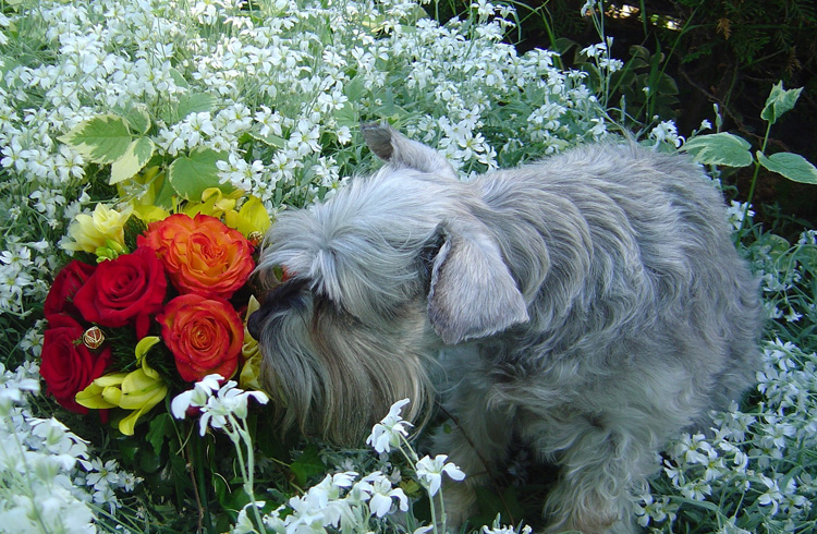 Image of pet schnauzer and flowers