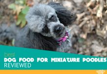 best dog food for miniature poodles