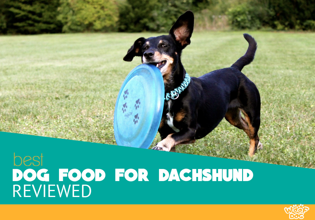 Featured image of playful dachshund dog with frisbee
