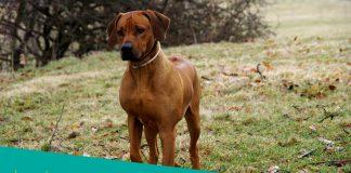 Featured image of rhodesian ridgeback dog walking