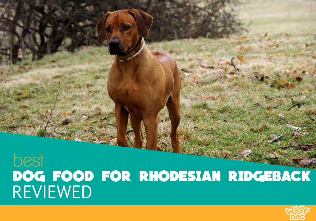 Featured image of rhodesian ridgeback dog walking