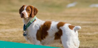 Featured image of spaniel dog with necklace