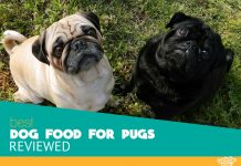 Featured image of two pugs canine in the grass