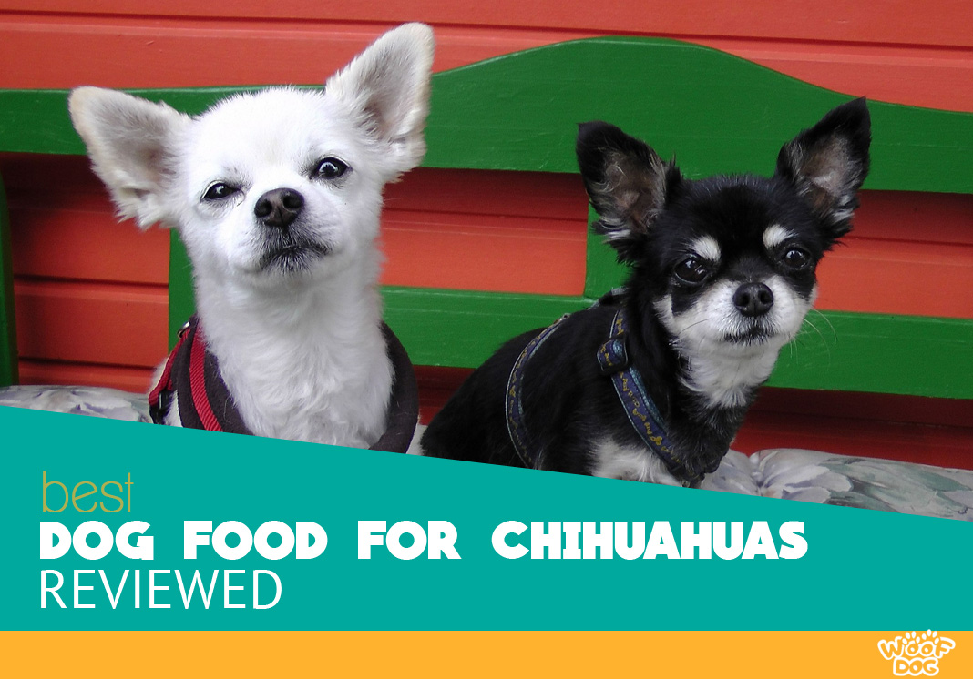Featured image of white and black chihuahuas
