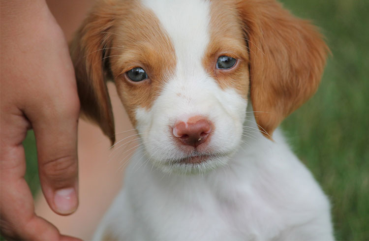 Image Of White And Brown Puppy Spaniel