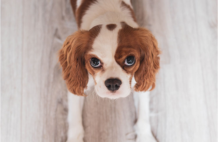 Image of Cute Brittany Spaniel Puppy