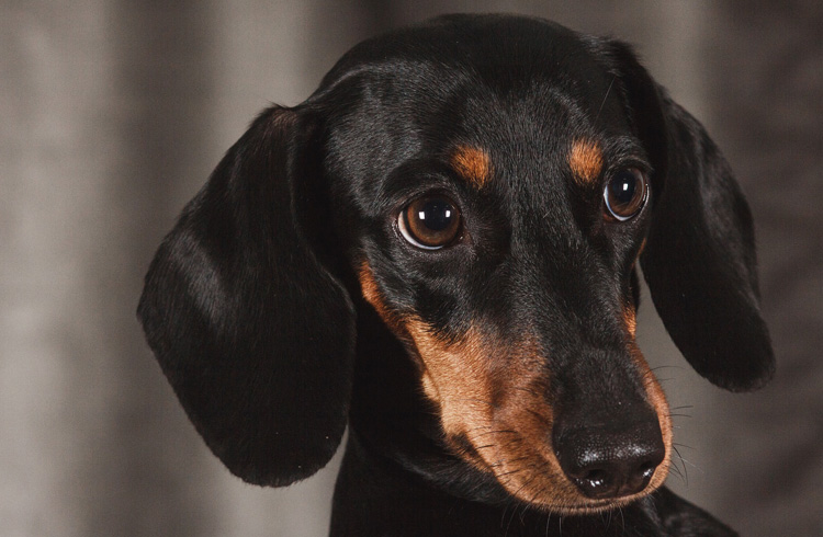 Image of beautiful black dachshund puppy