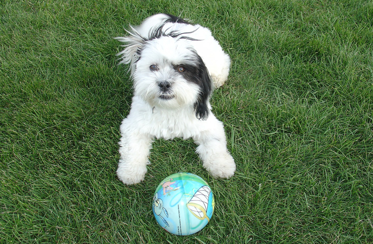Image of black and white shih tzu canine and ball