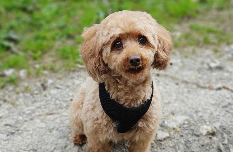 Image of poodle puppy with black bandana