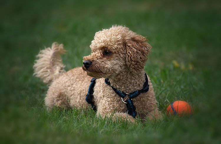 Image of poodle with orange ball