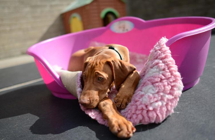 Image of sick dog on pink blanket