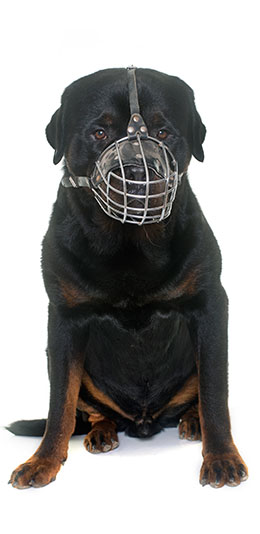 image of muzzled rottweiler