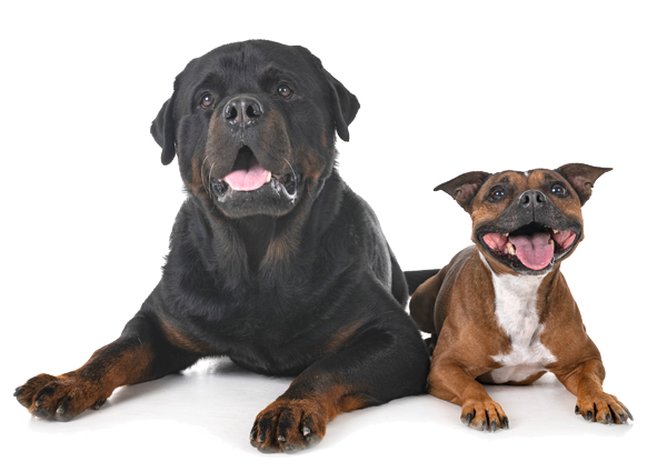 image of rottweiler and staffordshire bull terrier