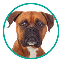 small image of Boxer