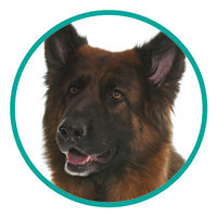 small Image of German Shepherd