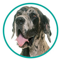 small Image of Great Dane