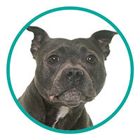 small Image of Staffordshire Bull Terrier