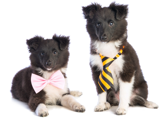 image of male and female shetland sheepdogs