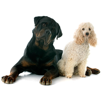 image of rottweiler and poodle