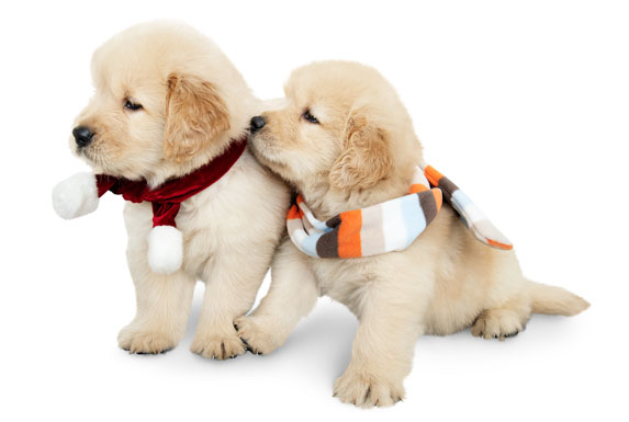 image of two golden retriever puppies wearing scarves
