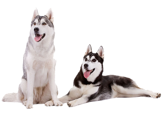 image of two siberian huskies