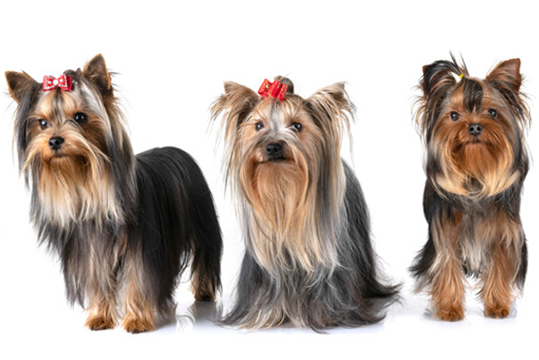 three yorkshire terrier ladies image