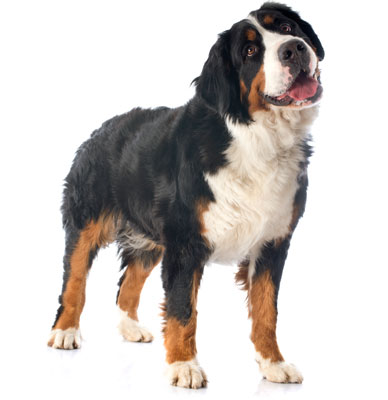 bernese mountain dog image