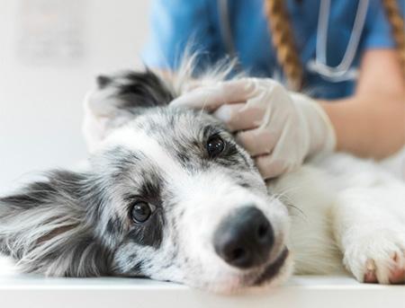 close up image of veterinarian examining dog