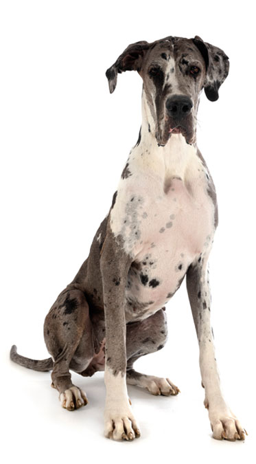 image of female great dane
