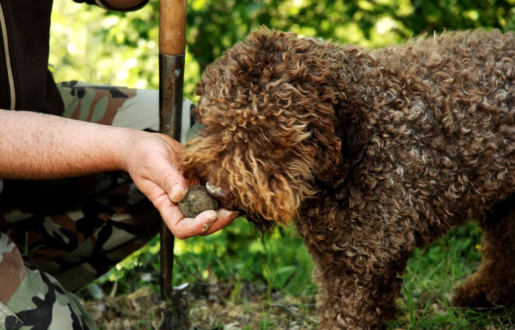 image of lagotto romagnolo truffle dog