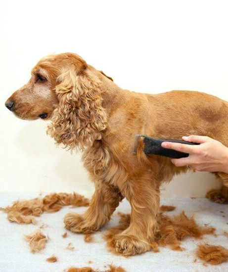 image of veterinarian hand grooming dog with the clipper