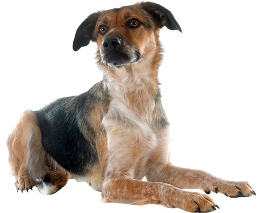 image of mixed breed dog waiting for adoption.png