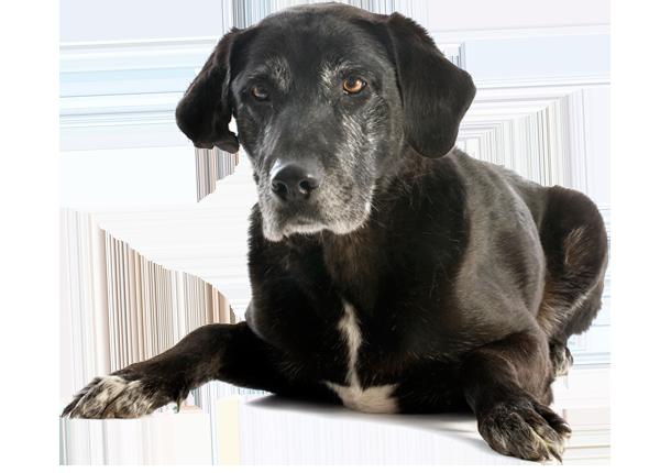 image of senior dog with white hair
