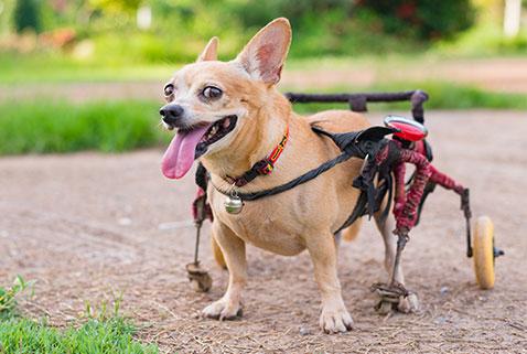 dog using walkin wheels