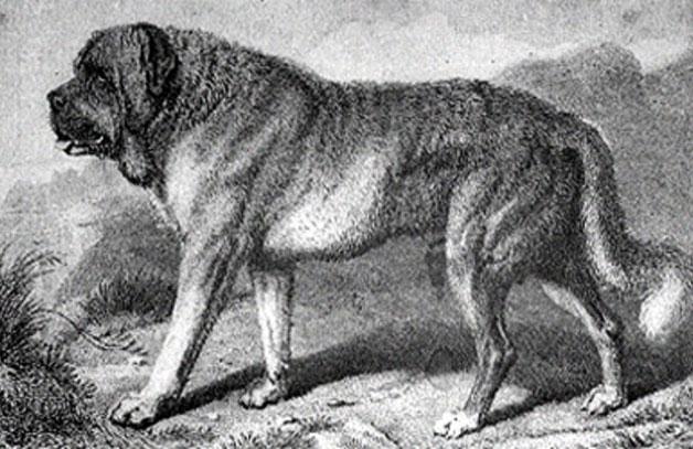 sketch of alpine mastiff