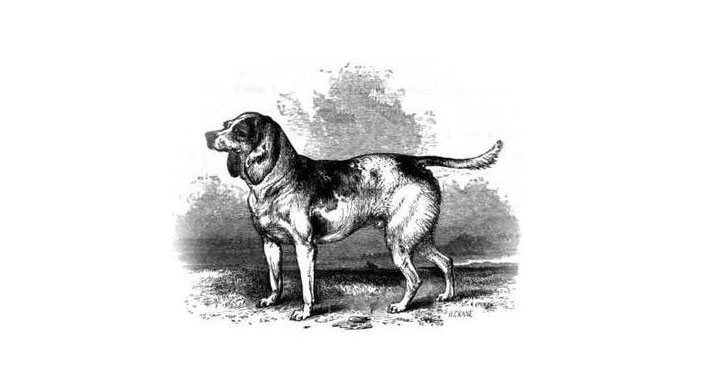 Sketch or North Country Beagle