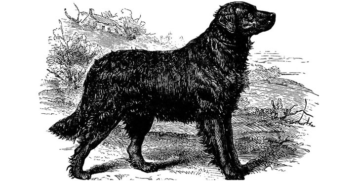 sketch of st johns water dog