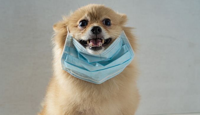 pomeranian dog wearing protecting mask