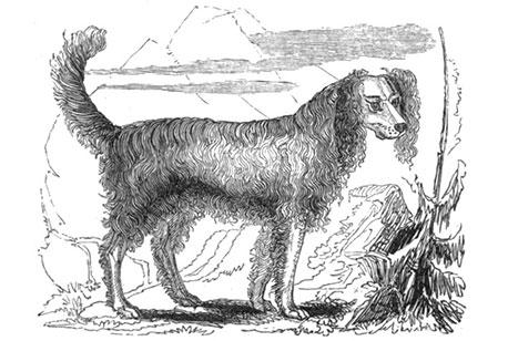 sketch of Alpine Spaniel