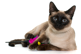 image of siamese cat