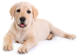 labrador retriever puppy image